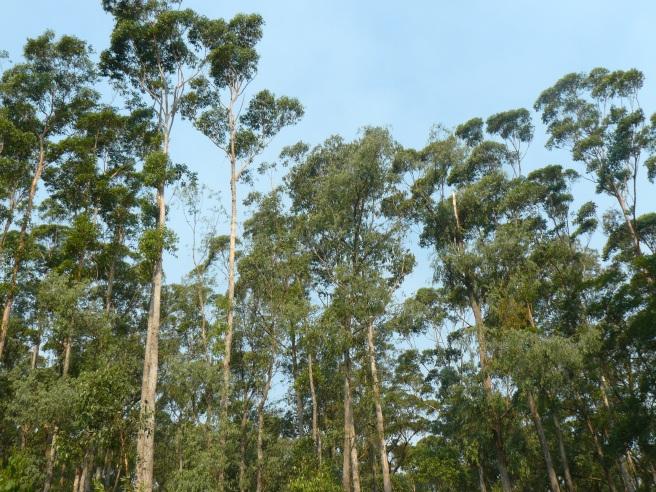 treetops at Cabbage Tree Creek, Australia