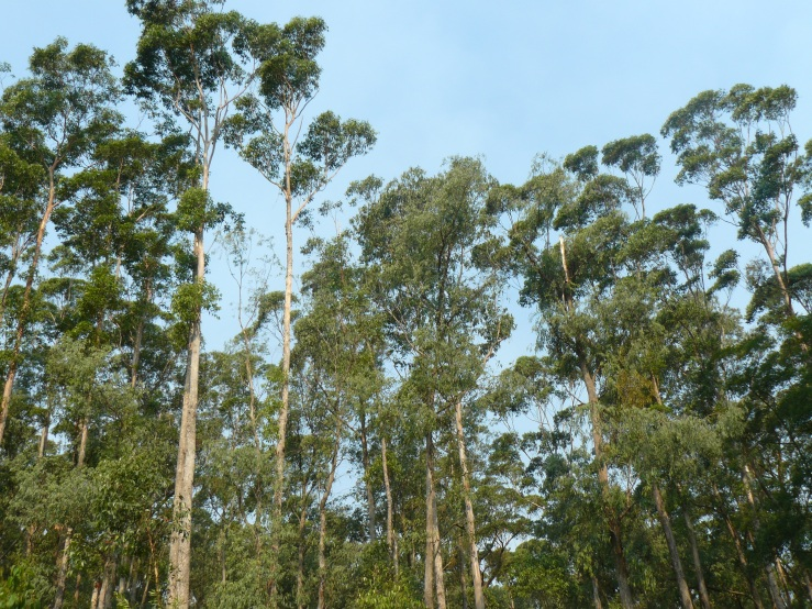 treetops at Cabbage Tree Creek, Australia